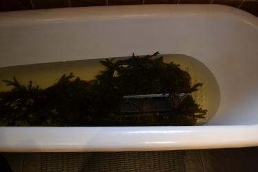 Seaweed Bath prepared