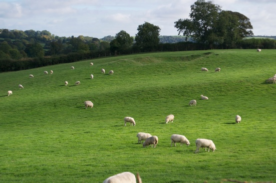 Fields of sheep at Newgrange