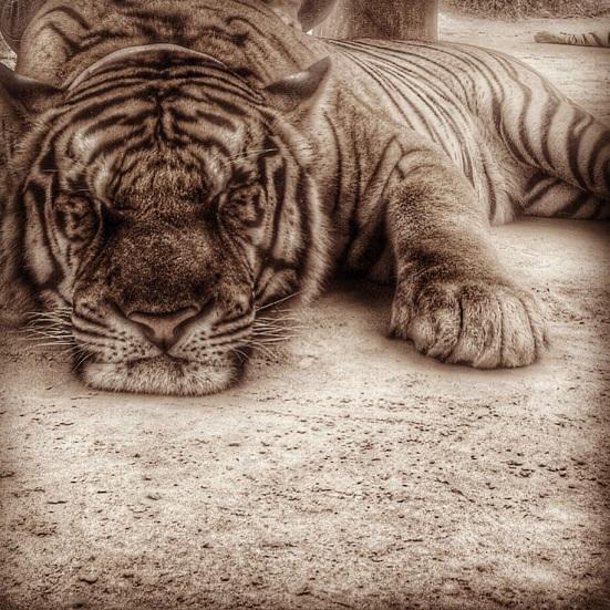 Snoozing tiger